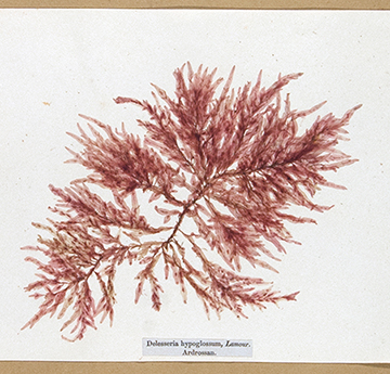 Treasures of the Deep; or, Specimens of Scottish Sea weeds