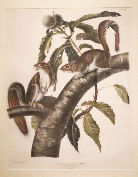 The Viviparous Quadrupeds of North America: Sciurus Carolinensis GMELIN/ Carolina Grey Squirrel/ Natural size/ Male & Female