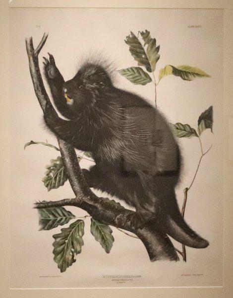 The Viviparous Quadrupeds of North America: HYSTRIX DORSATA, LINN/Canada Porcupine/ 4/5 natural size
