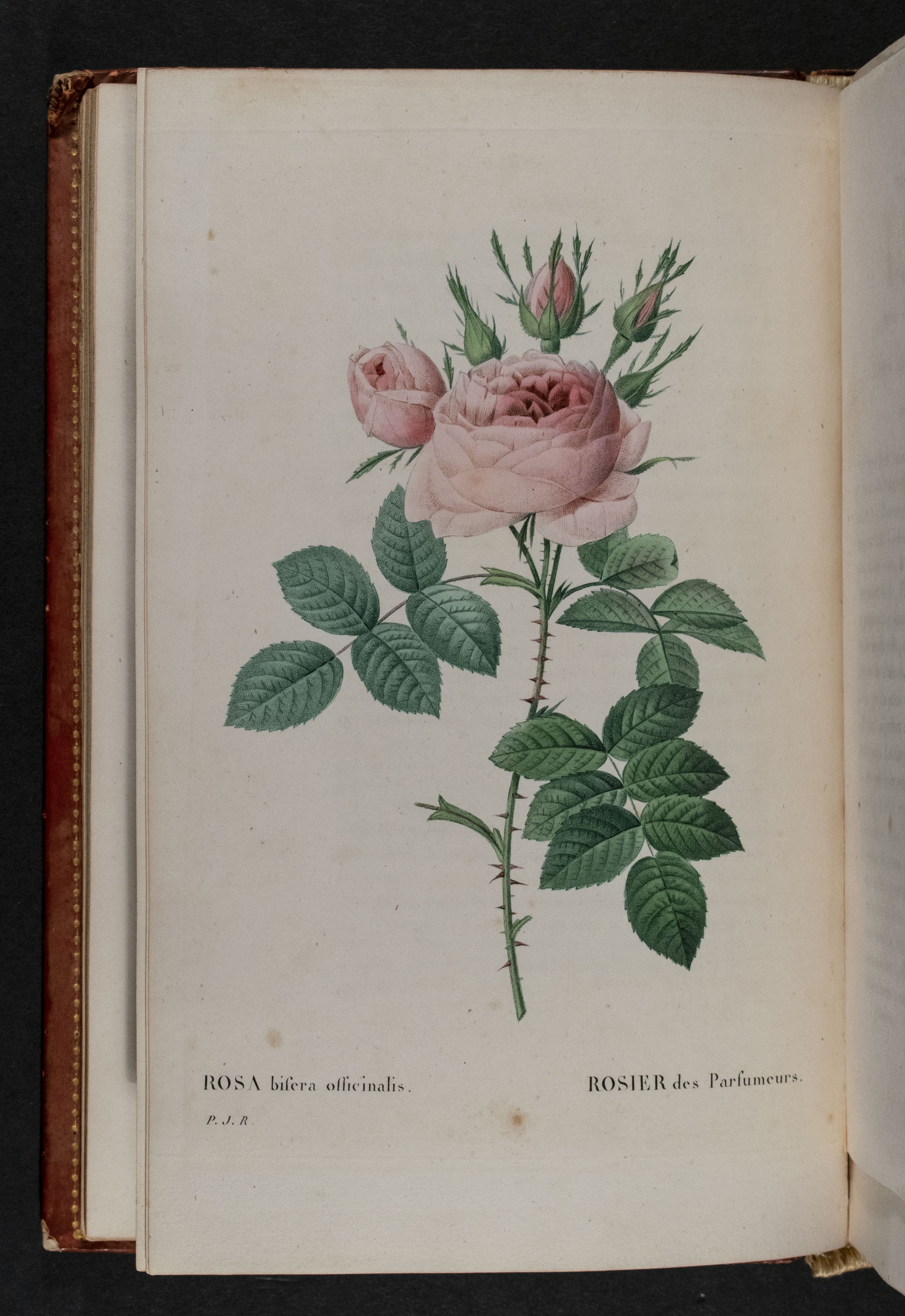 ROSA bifera officinalis/ ROSIER des Parfumeurs